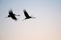 Common Crane (grus grus), Kranich, <br /> Brandenburg, Germany