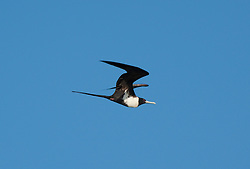 A Greater Frigate bird in flight near Adele Island on the Kimberley coast.  The birds roost and nest on the island, the most remote island off the Kimberley coast of Western Australia.