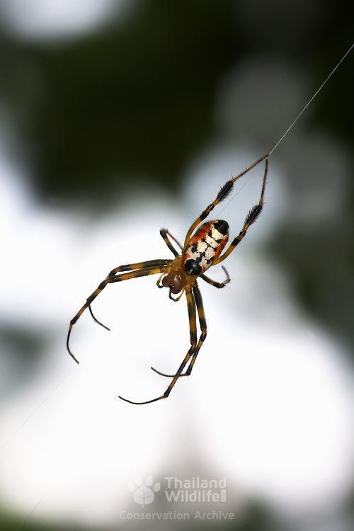 Leucauge is a spider genus. The body and leg shapes and the silver, black and yellow markings of Leucauge females make identification of the genus relatively easy. They have two rows of long, slender curved hairs on the femurs of the fourth leg. In most cases the web is slanted rather than vertical and the spider rests in the middle of the web with its underside facing upwards.