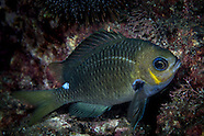 Chromis hypsilepis (Single-Spot Demoiselle)