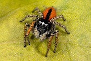 Close up of a male beautiful jumper spider (Philaeus chrysops) showing the striking black and red colouration and huge eyes. Coastal habitat, Rovinj, Croatia