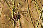 Dunnock (Prunella modularis) in a tree next to the main path at Shapwick Heath.