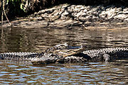 American alligators rest on each other in shallow water at the Donnelley Wildlife Management Area March 11, 2017 in Green Pond, South Carolina. The preserve is part of the larger ACE Basin nature refugee, one of the largest undeveloped estuaries along the Atlantic Coast of the United States.