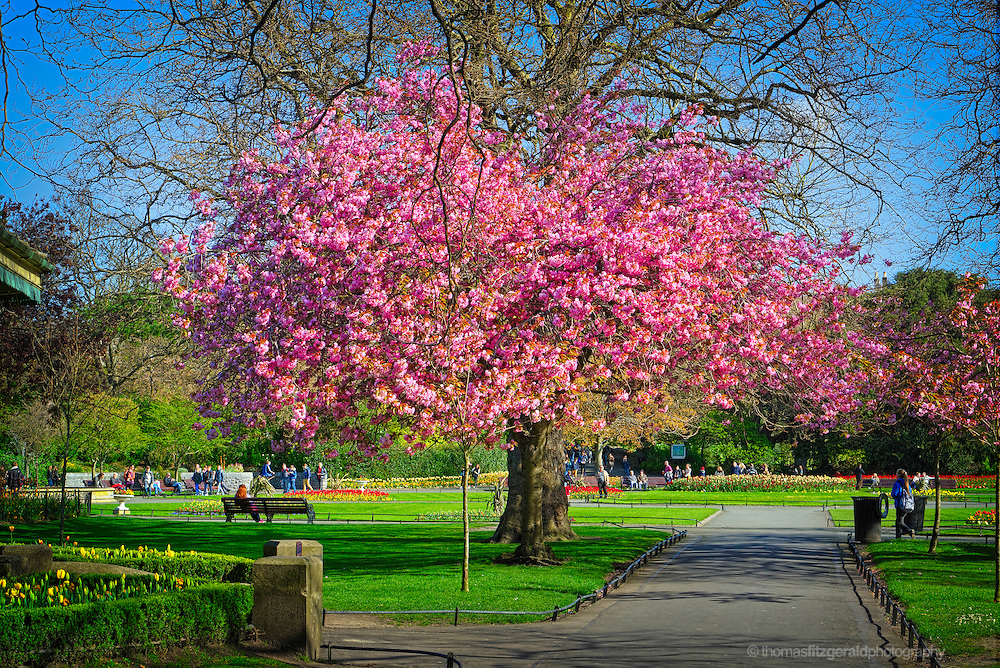 Dublin, Ireland 2014: Cherry Blossom Tree in St. Stephens Green in Dublin. A large Cherry tree blossoms with Pink flowers in the heart of this Dublin Park. In the background people enjoy the spring sunshine