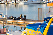 Seals Sitting on the Dock in the Harbor at Dana Point
