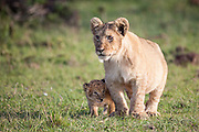 Cute little lion cubs, one tiny and one larger, standing waiting on their short little legs for the lionesses to return from the hunt in the Masai Mara Reserve, Kenya, Africa (photo by Wildlife Photographer Matt Considine)