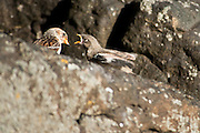 "The Snow Bunting (Plectrophenax nivalis) sometimes colloquially called ""snowflake"", is a passerine  bird in the bunting family Emberizidae. It is an arctic specialist, with a circumpolar Arctic breeding range throughout the northern hemisphere. These photos are taken in Grimsey, Iceland"