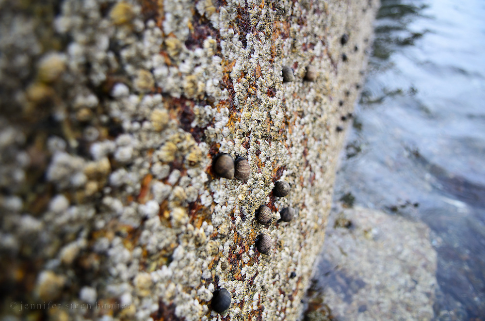Common Periwinkles among barnacles on the coast of Maine.