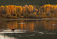As the sun falls below the horizon, its last rays set this stand of cottonwoods ablaze along the Snake River.