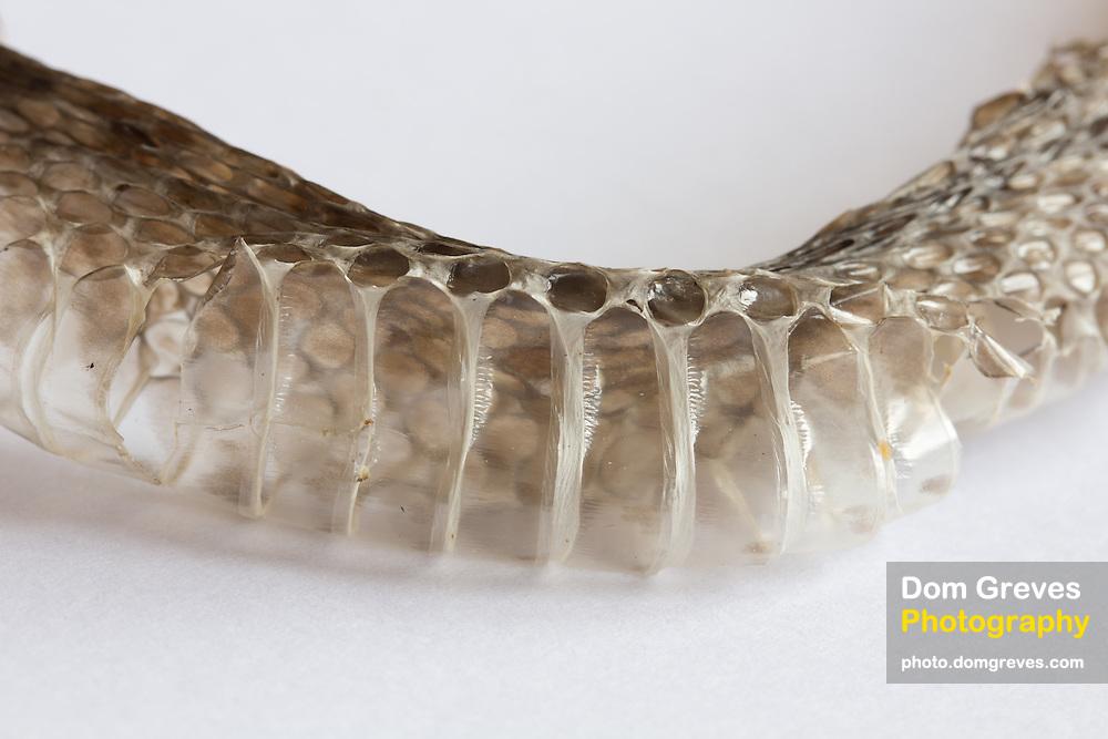 Underside of sloughed adder skin (Vipera berus).
