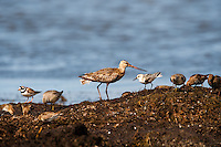 The Bar-tailed Godwit is a large wader. A Sanderling in front of the larger bird. At Revtangen on Jaeren, south west Norway.