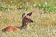 Black-Tail Deer fawn (Odocoileus hemionus columbianus) on Hurricane Ridge - Olympic National Park, Washington, USA