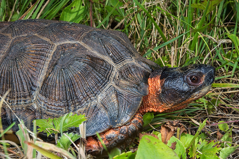 Wood Turtle (Glyptemys insculpta)<br /> CAPTIVE<br /> USA<br /> HABITAT &amp; RANGE: Near streams and rivers form Nova Scotia to Minnesota and Virginia.<br /> ENDANGERED SPECIES