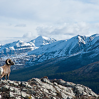 bighorn sheep ram on rocky cliff looking out over big steep rugged snow capped mountains