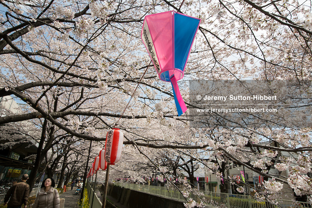 Japanese people enjoy the cherry blossom in their annual 'o-hanami' (flower viewing parties), in Takaido, in Tokyo, Japan on Saturday 7th April 2012.
