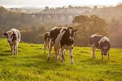 © Licensed to London News Pictures. 27/10/2014. Pensford, Somerset, UK. Dairy cows in the autumnal morning sunshine this morning, 27th October 2014. Autumn scenes in the Chew Valley near Pensford in Somerset. Pensford viaduct is seen in the distance. Photo credit : Rob Arnold/LNP