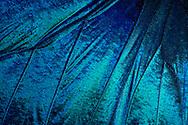 Detail of a Purple Emperor wing (Morpho menelaus). He is family of brush-footed butterflies and comes from the tropical rain forests of South America. The wingspan is approx 11-13 cm. He falls on its gleaming blue stain. This blue shade varies depending on the light of pale turquoise to deep navy blue and iridescent velvet. Studio Shot, Goosefeld. / Fluegelausschnitt eines Schillerfalters (Morpho menelaus). Er gehoert zur Familie der Edelfalter und stammt aus den Tropischen Regenwaeldern Suedamerikas. Die Fluegelspanne betraegt ca. 11-13 cm. Er faellt durch seine glaenzende blaue Faerbung auf. Dieser Blauton variiert je nach Lichteinfall von hellem Tuerkis bis zu tiefem Marineblau und schillert samtig. Studioaufnahme, Goosefeld.