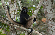 White-bellied Spider Monkey<br /> Ateles belzebuth<br /> Amazoonico Animal Rescue Center<br /> Amazon Rain Forest<br /> ECUADOR.  South America<br /> Range: East of Andes from n Colombia and Venezuela, Upper Amazon Basin of Ecuador, Peru, Bolivia and Brazil south of Rios Amazonas and Solimoes.