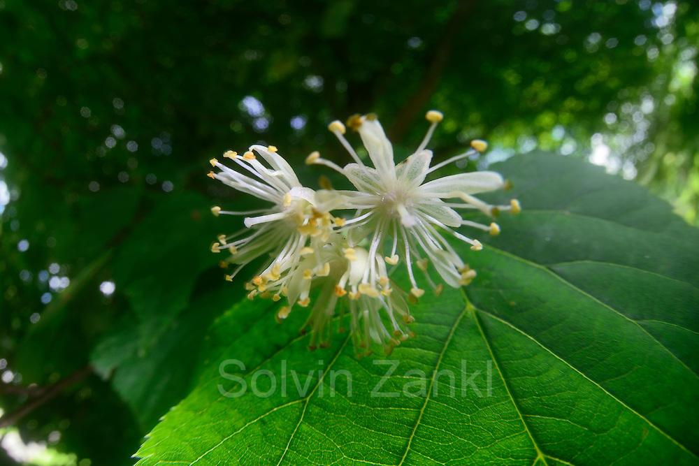 Lindenblüten (Tilia cordata)