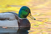 Mallard, Anas platyrhynchos, male, Lake County, Ohio