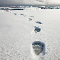 Norway, Svalbard, Spitsbergen Island, Tracks from Polar Bear (Ursus maritimus) left in fresh snow on sea ice on summer day