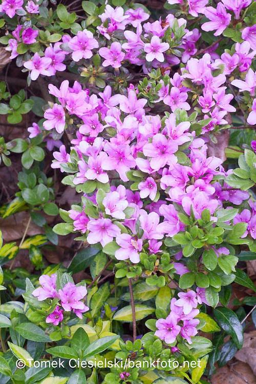 Rhododendron SAZAVA
