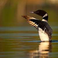Common loon photographed at water level drying wings on Nettie Lake in northern Michigan.