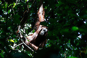An Orangutang is seen in a tree near the Borneo Rainforest Lodge on Saturday April 27th 2013 in Malaysia. (Photo by Brian Garfinkel)