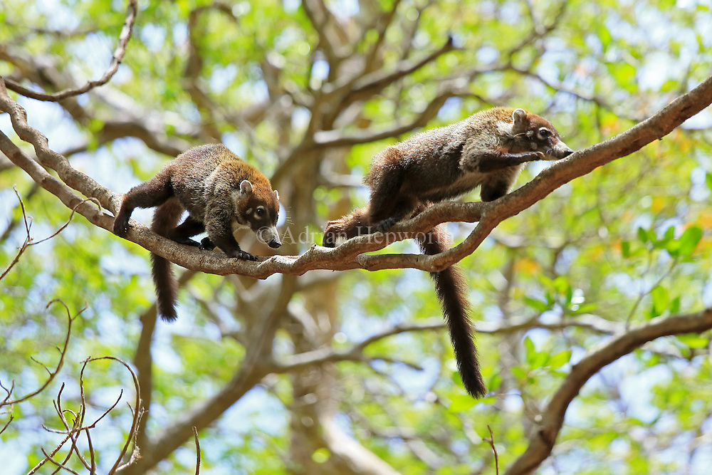 White-nosed coatis (Nasua narica). Tropical dry forest, Palo Verde National Park, Guanacaste, Costa Rica.