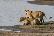 Lionesses drinking at waterhole, Serengeti National Park, Tanzania