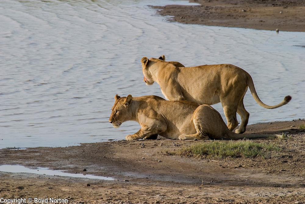 Lionesses drinking at waterhole, Serengeti National Park, Tanzania