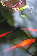 Goldfish and lily pad in a pond.