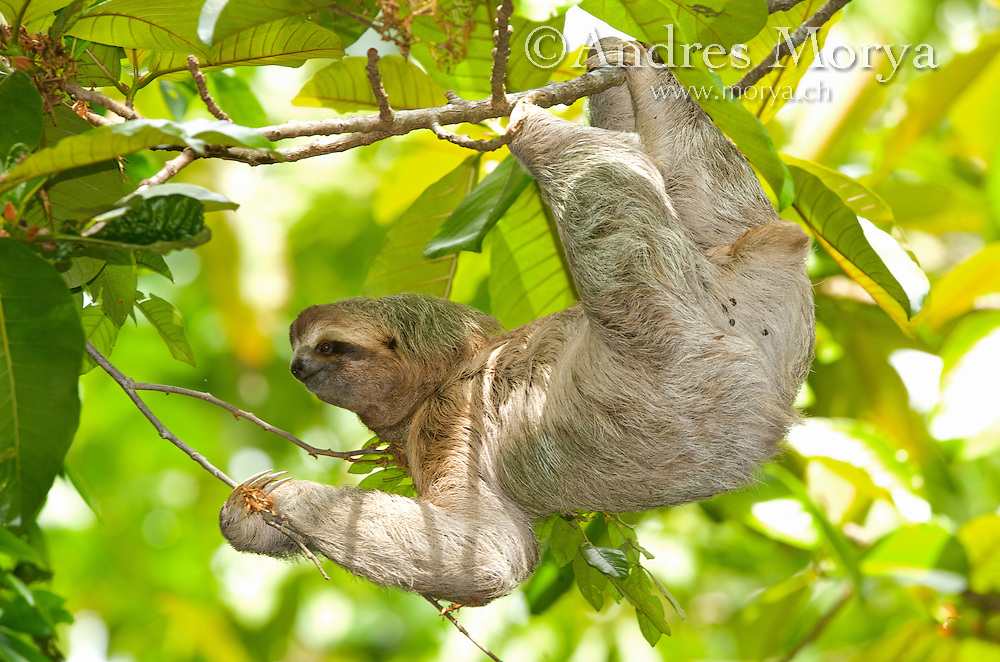 Three-Toed Sloth (Bradypus variegatus) Perezoso de Tres Dedos, Cahuita, Caribe, Costa Rica<br /> This sloth species is found from southern Honduras through Panama and western Colombia through the Amazon to northern Argentina. The three-toed sloth is active during the day, unlike the nocturnal two-toed sloth, and so is seen more often. This sloth only eats leaves from trees and lianas, but may feed on fifty individual trees of up to thirty species, eating leaves of different ages. Sloths live, feed, mate, and reproduce near the upper levels of the forest canopy. They move to a new tree often enough to balance their diet, or about once every 1.5 days. Image by Andres Morya