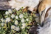 A dead Cape Gannet lies amongst small succulent flowers that its body will provide nutrients to, Bird Island, Algoa Bay, Eastern Cape, South Africa