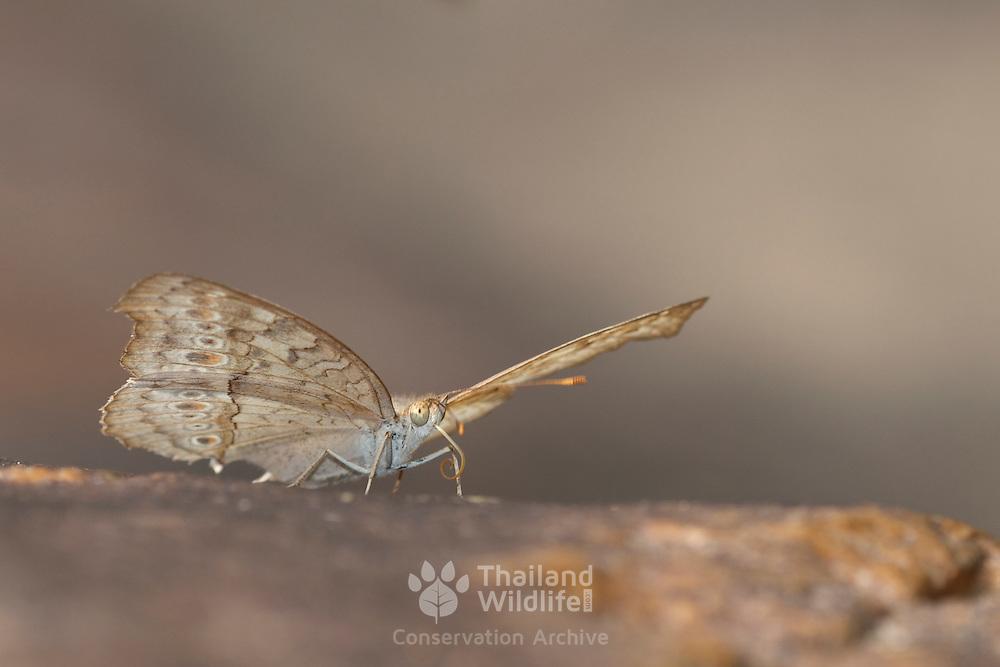 The Grey Pansy Butterfly, Junonia atlites atlites in Pang Sida National Park, Thailand...