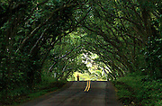 A runner clears another section of tree canopy along the Kapoho Kalapana Road which skirts the Pacific Ocean on the south side of the Big Island of Hawaii.