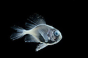[captive] deep sea fish Atlantic Ocean, close to Cape Verde |