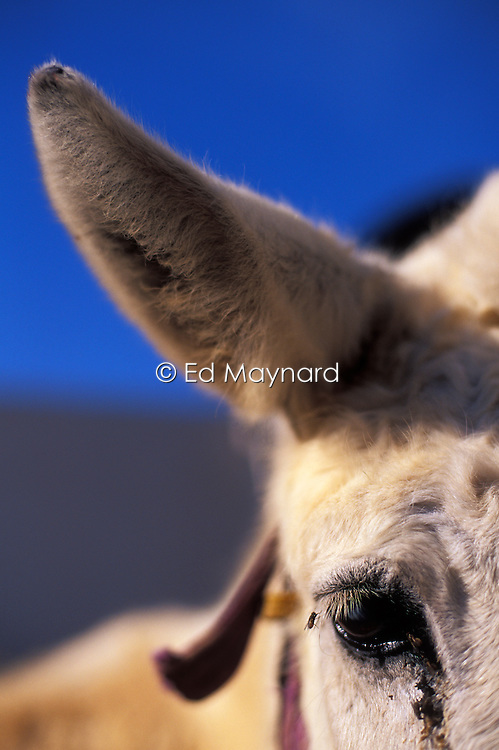 Close up portrait of the eye and ear of a mule recovering at the SPANA refuge, Marrakech, Morocco.
