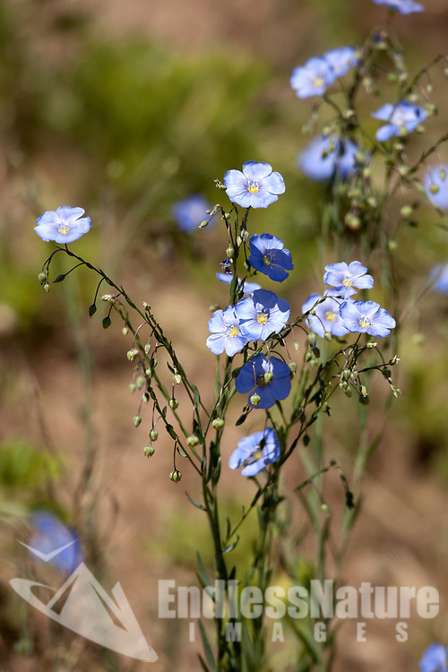 Flax is a blue mountain flower that opens wide every morning for the sun.