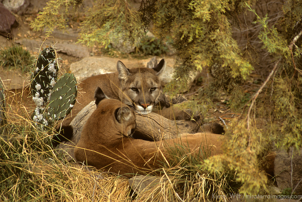 North America, Americas, USA, United States, Arizona. Resting Mountain Lions at the Arizona-Sonora Desert Museum.