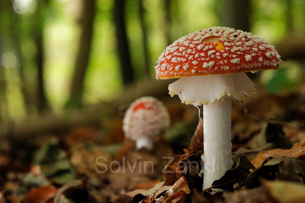 Fly agaric or fly amanita (Amanita muscaria) in the beech forest. Kiel Germany | Fliegenpilz (Amanita muscaria) im Buchwald. Kiel Deutschland