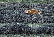 Red fox hunting in a hay field, Tivertyon, Rhode Island, USA.