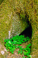 Redwood Sorrel (Oxalis oregans) growing between the roots of a stlit tree.  Olympic National Park, Washington.