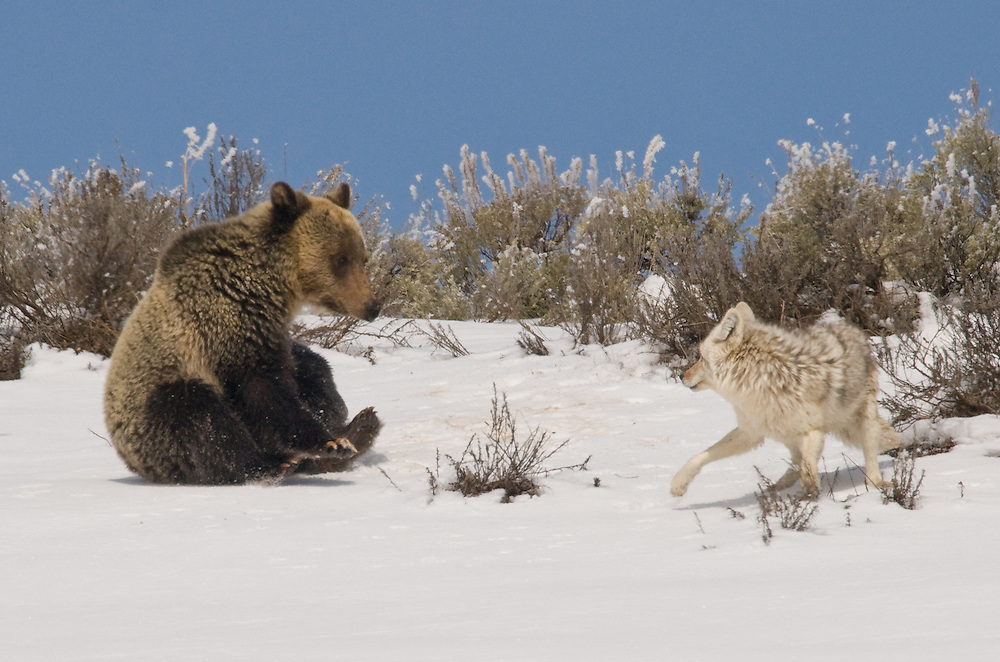 This young grizzly still has high hopes for a play session, but it seems this is not to be.<br /> <br /> This image was published as the &quot;Last Frame&quot; in the March 2013 issue of Outdoor Photographer Magazine.