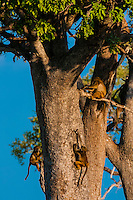 Baboons in trees, Lebala Camp, Kwando Concession, Linyanti Marshes, Botswana.