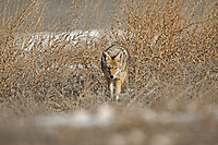 Adult Coyote on the prowl makes its way through the sagebrush.