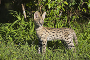Serval<br /> Felis serval<br /> 13 week old orphan serval kitten<br /> Tanzania