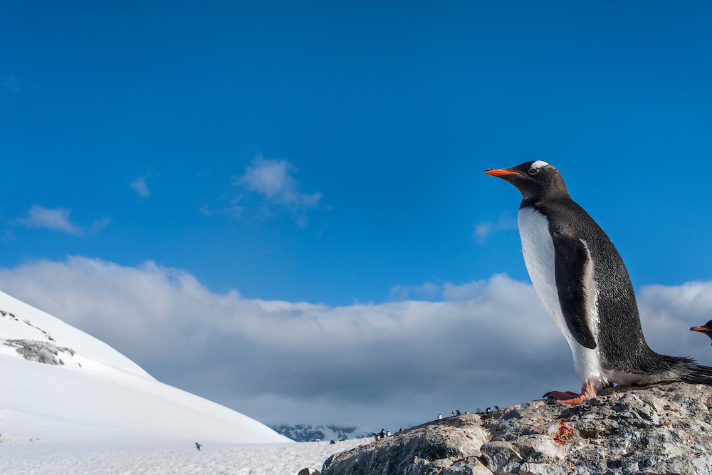 Antarctica, Cuverville Island, Gentoo Penguin (Pygoscelis papua) standing onto snow slope in rookery