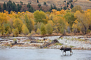 In the driving rain, a lone bull moose makes his way towards a cow and her calf grazing along the opposite shore. The cow seemed receptive to this bull and called to him numerous times as he followed her into the willows.