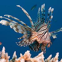Epson 2010 Lionfish